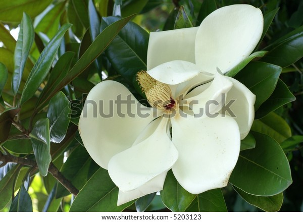 Large magnolia flower with leaves in the background.