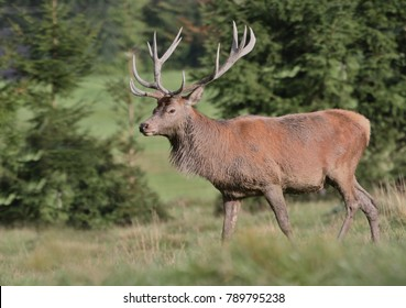 Large majestic red deer stag in the sunlight. Deer grazing on the meadow.  Cervus elaphus