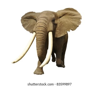 Large male African elephant