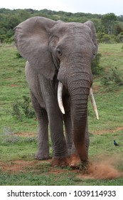 Large male African Elephant gathering grass by scraping it together with it's foot