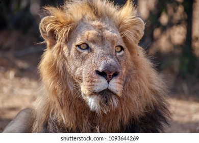 A large male african lion