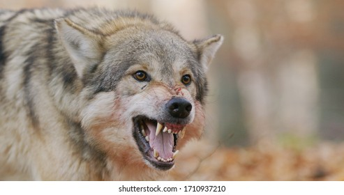 large male alpha grey wolf snarling to protect its prey