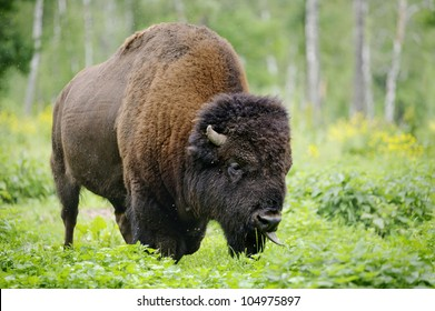 large male of american bison in the national park Priokskiy