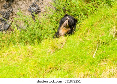 Large Male Andean Bear Shoot In The Wild In Ecuadorian Andes Mountains
