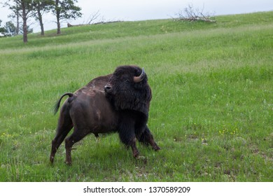 A large male bison bending its head back to scratch an itch looks like it is trying to achieve a yoga pose.