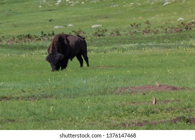 A large male bison is grazing in the green spring grass of a prairie with small prairie dogs looking around.