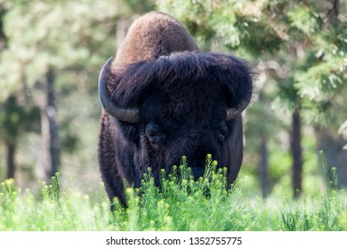 A large male bison grazing in spring greenery with sunshine and trees in the background.