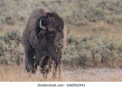 Large Male Bison Looks Right with copy space to right