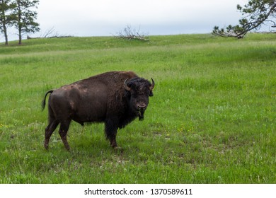 A large male bison with a muddy face standing on a green grassy hillside eating while a storm is passing in the background.