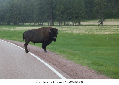 A large male bison standing on the side of a country road in the heavy rain