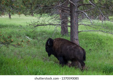 A large male bison using a pine tree to scratch an itch on its side in the woods