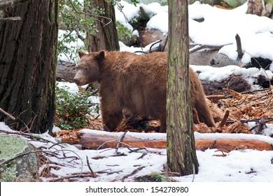 Large male black bear (Ursus americanus), Yosemite National Park, California.