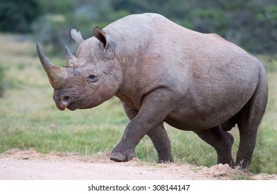 Large male black rhino peering out from between the bushes