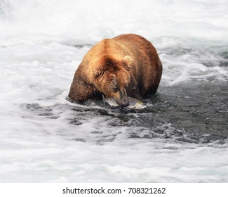 Large Male Brown Bear standing in a pool with a Sockeye Salmon in his mouth.