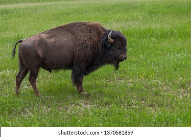 A large male buffalo or bison with a muddy face standing in the green spring grass on a hillside on a cloudy day.