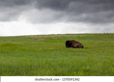 A large male buffalo or bison is resting on a hillside of green grass and wildflowers with a storm of dark clouds in the distance behind him.
