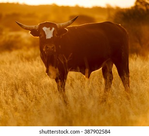 Large male bull cow with horns grazes in long grass at sunset