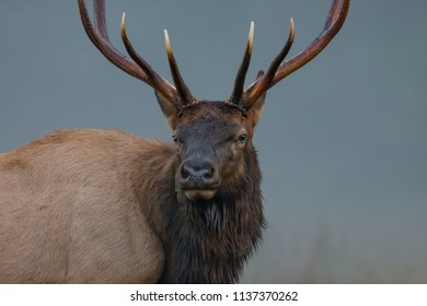 Large male bull elk stares directly forward
