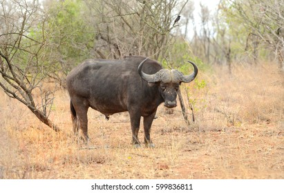Large male cape buffalo in Kruger National Park in South Africa standing and looking toward the safari vehicle