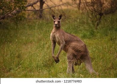 A large male Eastern Grey Kangaroo in a grassy field
