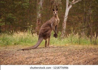 A large male Eastern Grey Kangaroo in a grassy field