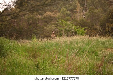 A large male Eastern Grey Kangaroo standing on a hill of grass