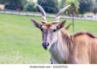 Large male eland antelope (Tragelaphus oryx) in natural habitat.
