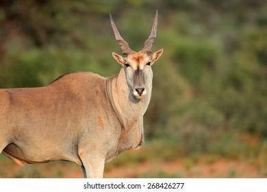 Large male eland antelope (Tragelaphus oryx), South Africa