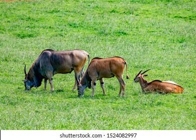 Large male eland antelopes (Tragelaphus oryx) in natural habitat.