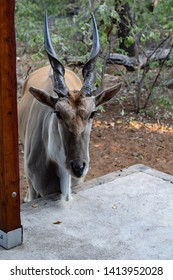 Large Male Eland standing by the patio of the holiday home, situated on the nature reserves fence. Taken in Leeupoort Nature Reserve, :Limpopo, South Africa