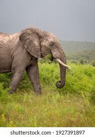 Large male elephant side on