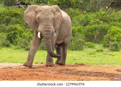 Large male elephant standing alone at a waterhole drinking water from muddy ground