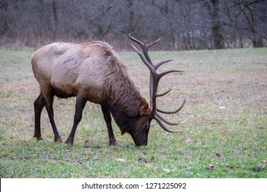 Large male elk with large antlers grazing in grassy field. Smokey Mountains National Park, United States.
