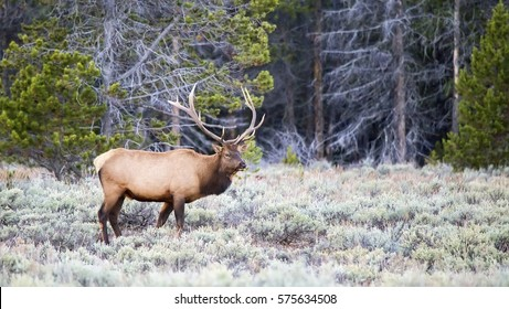 A large male elk (Cervus canadensis) during the fall rut season at Grand Teton National Park in Wyoming.