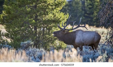 A large male elk (Cervus canadensis) bugles during the fall rut season at Grand Teton National Park in Wyoming.