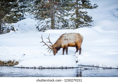 Large male elk digs in snow for grass to eat
