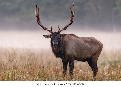 Large male elk with grand head of antliers on misty morning.