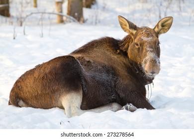 Large male elk lying on the snow. On moose farm.