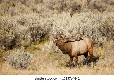 A large male elk in sagebrush bugling.