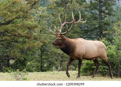 A large male elk walking in front of pine trees