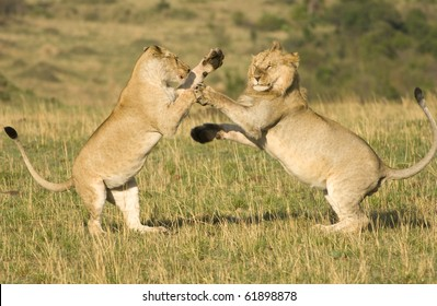 A large male and female lion mock fighting in Kenya's Masai Mara