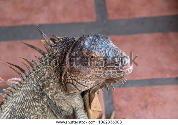 A large male iguana found in central america. This picture was taken in Costa Rica.