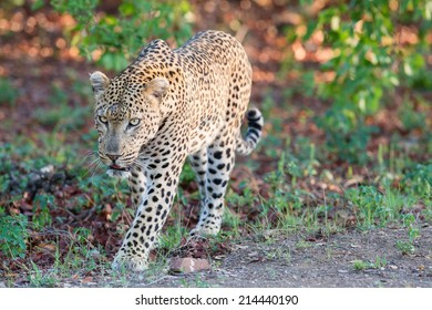 Large male leopard busy marking his territory on tree looking back