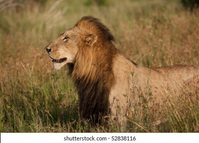 A large male lion with a black mane walking through tall grass in the Kruger National Park, South Africa