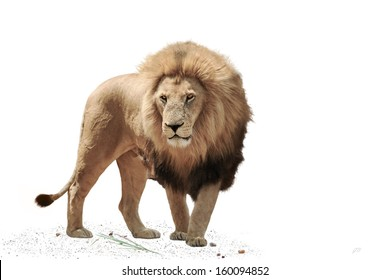 Large male Lion, isolated on a White Background