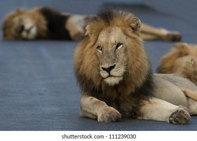 Large male lion in Kruger national park