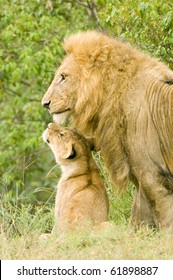 A large male lion on lookout with one of his cubs looking up to him
