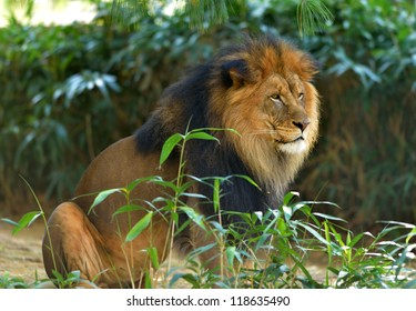 A large male lion (Panthera leo) sits in a small clearing of vegetation