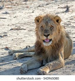 Large male lion (Panthera leo) lying at sunset in Etosha National Park, Namibia