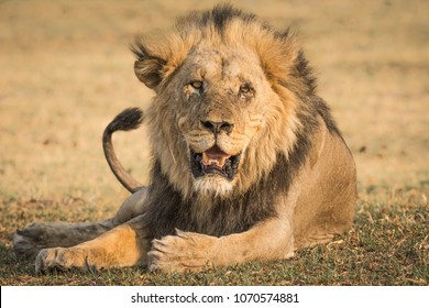 Large male lion resting in Botswana's Okavango Delta. Black maned and scar faced after a recent battle.